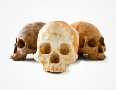 The many flavors of the human skull.