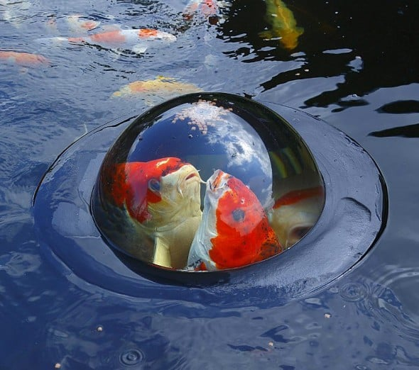 Feed your fish, fisheye view style.