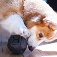 Up Dog Toys The Odin Corgi Playing