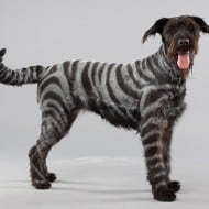 PetPaint Pet Hair Spray Zebra