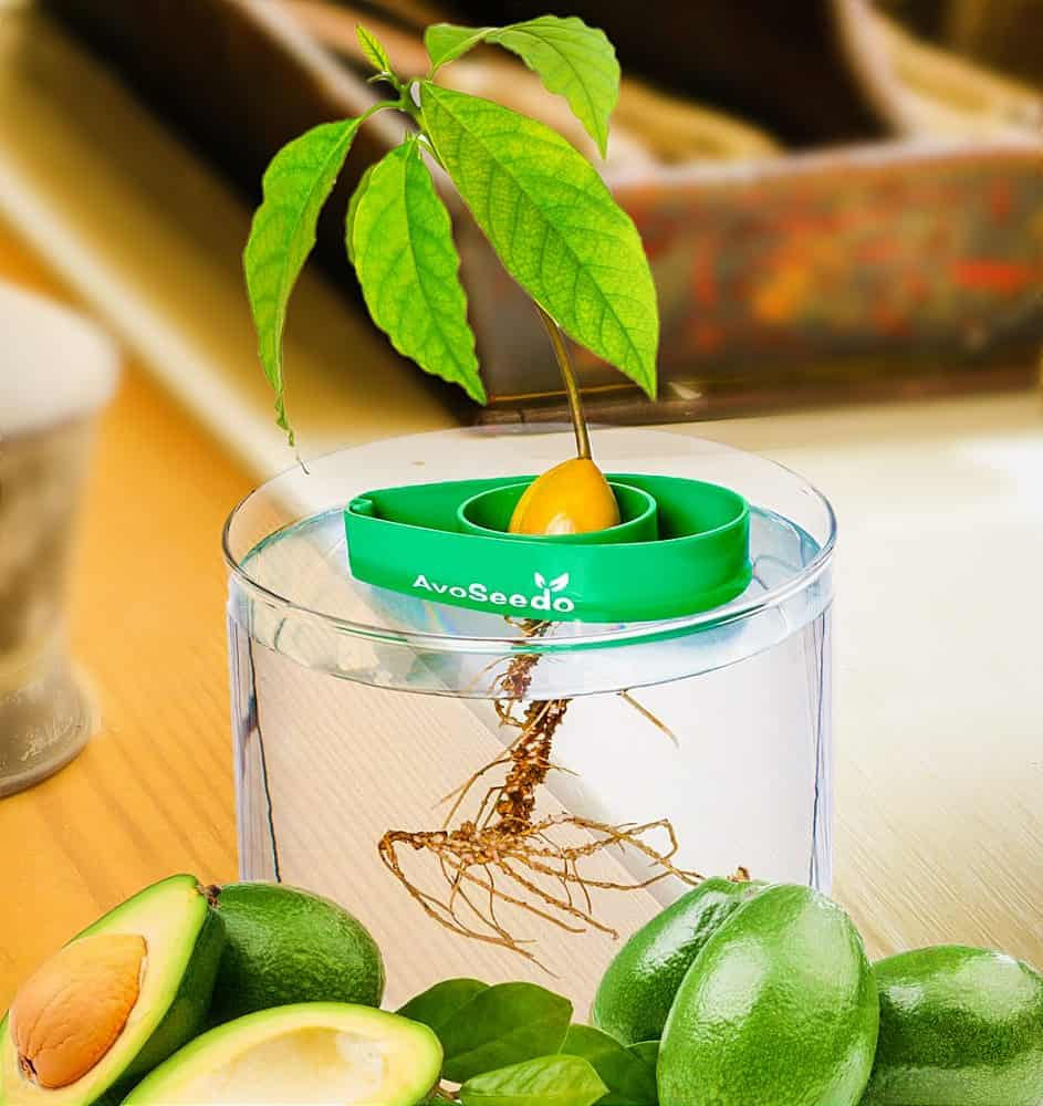 Easily grow your avocado tree.