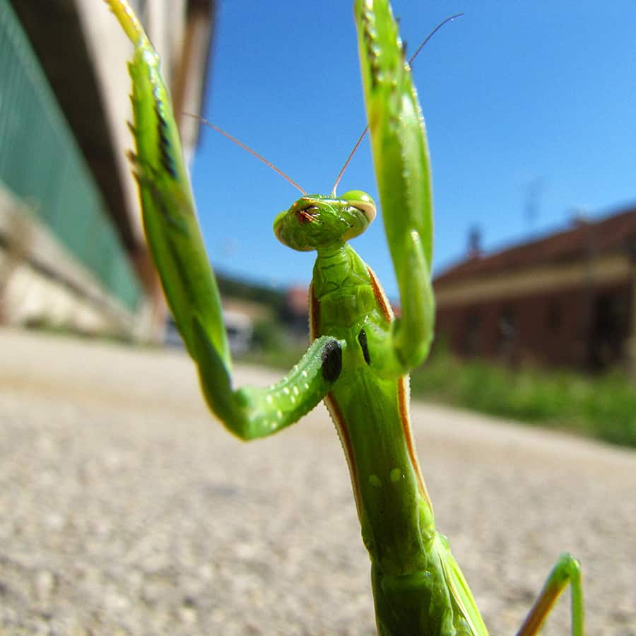 Order your live praying mantis today!