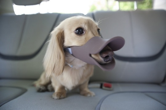Duck Dog Muzzle Inside the Car