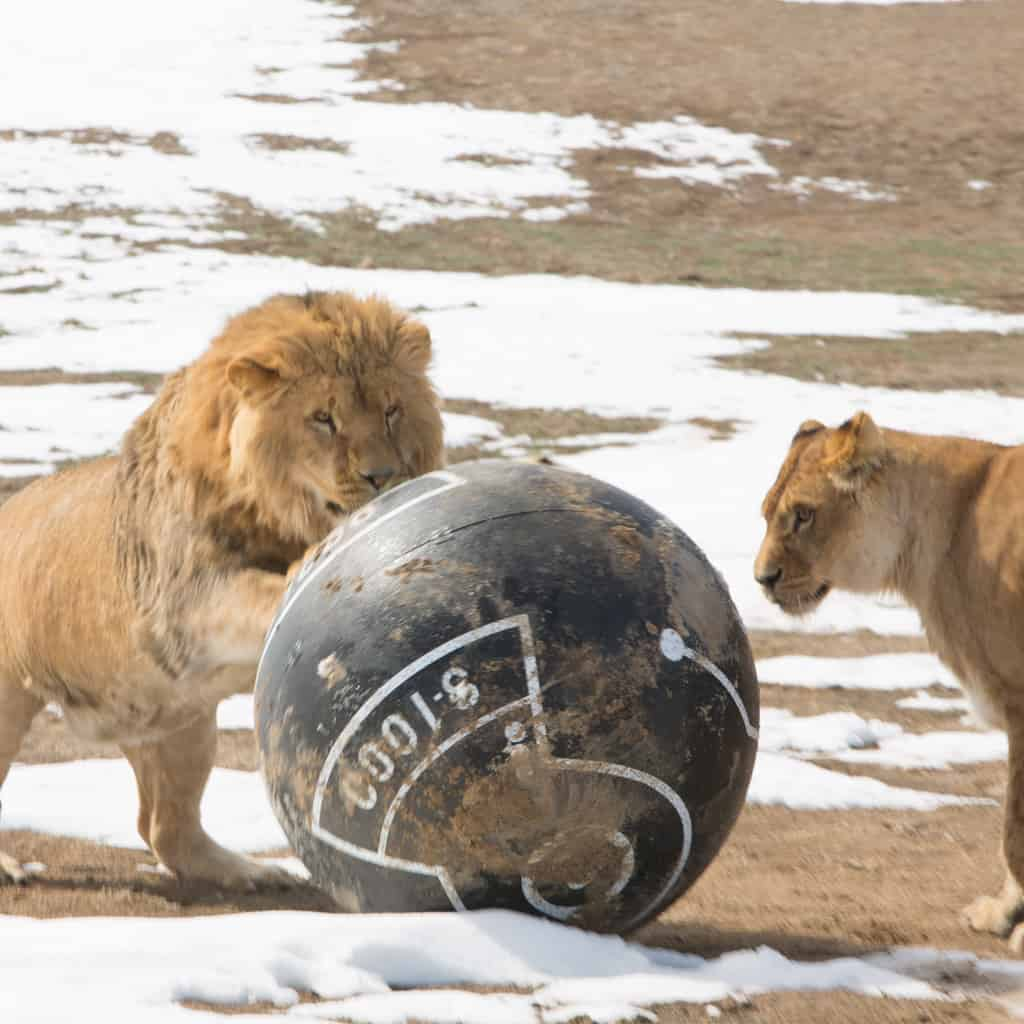 Sphero Peacekeeper  Playing with Lions