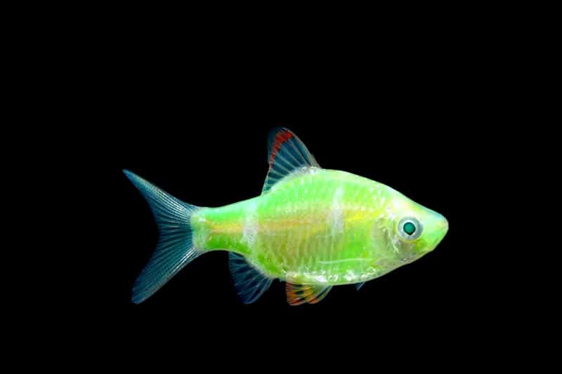 Glowing Fluorescent Fish Electric GreenTetra