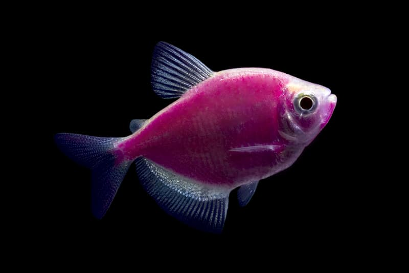 Glowing Fluorescent Fish Purple Tetra