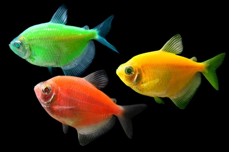 Glowing fluorescent fish noveltystreet for Glo tetra fish