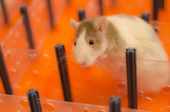 Rat Maze Hamster Playing on Labyrinth