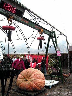 Pumpkin Dills Atlantic Giant Seeds Contest