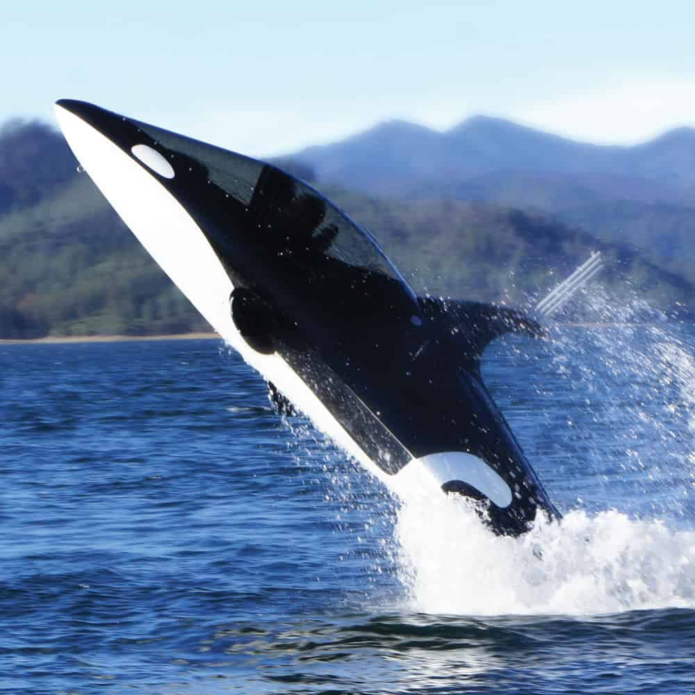 Seabreacher Killer Whale Watercraft Orca Design Jump Out of the Sea this is One Expensive Hobby