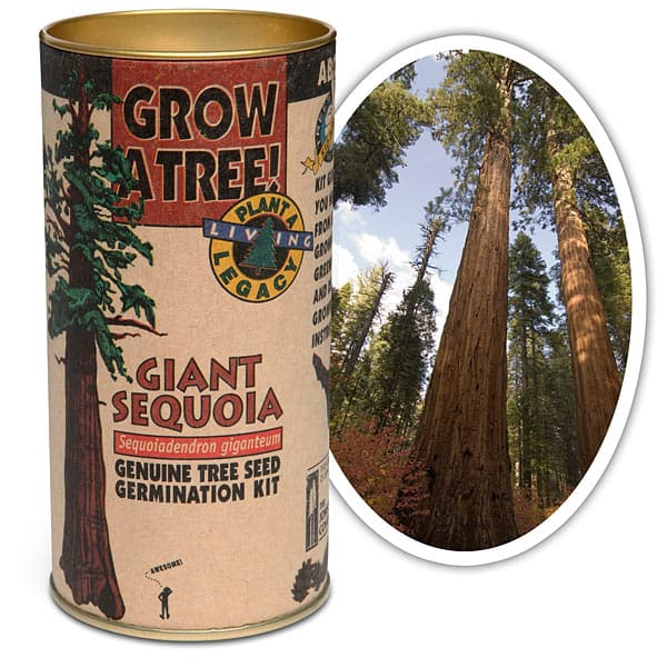 Grow Your Own Giant Sequoia Germination Kit Unique Gift Idea Largest Tree