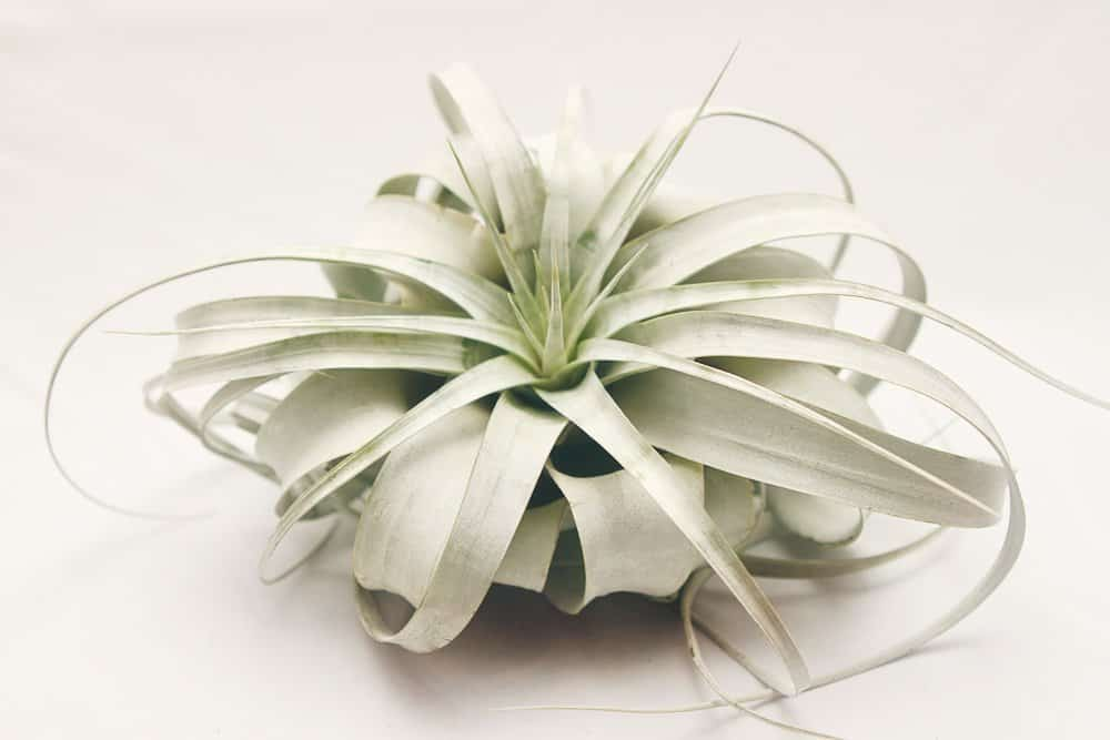 Hinterland Trading Air Plant Tillandsia Xerographica Beautiful Flower to Buy Her