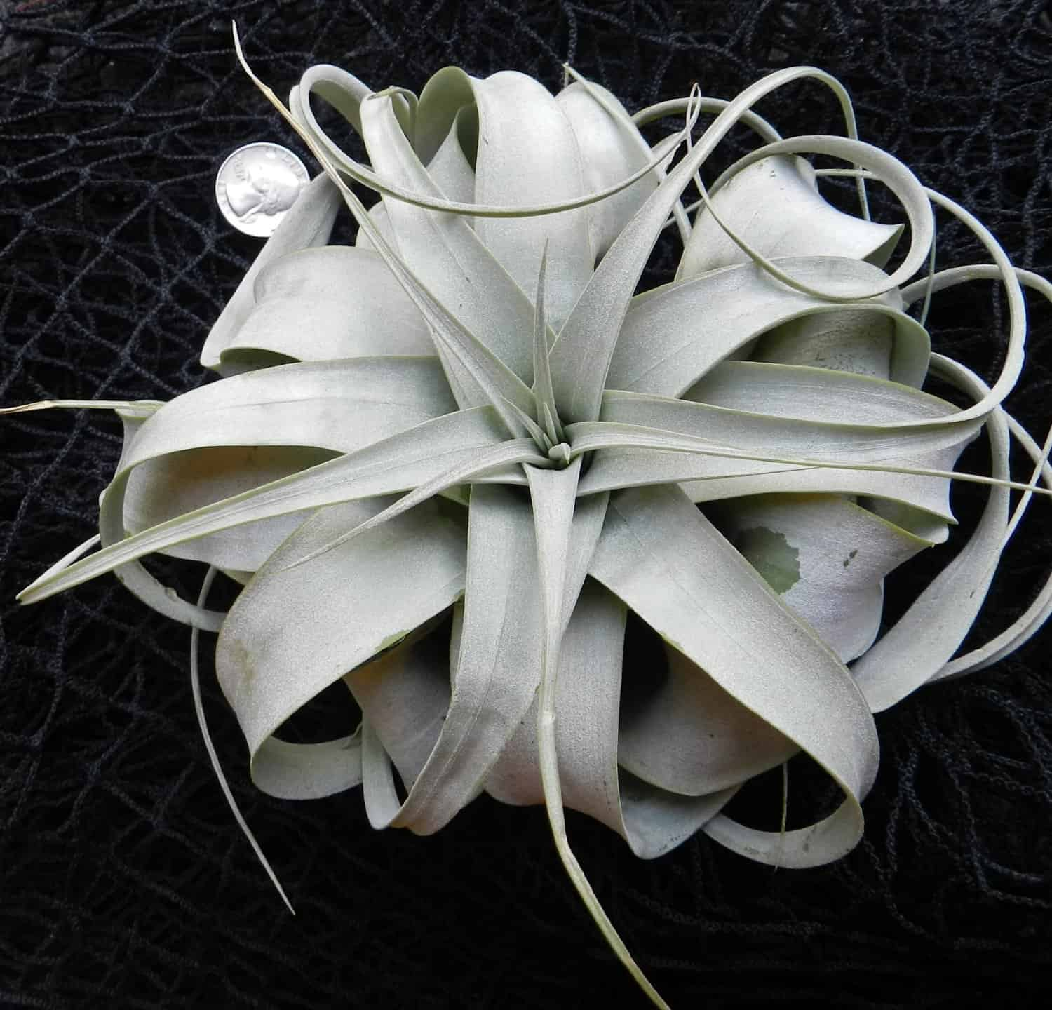 Hinterland Trading Air Plant Tillandsia Xerographica Unique Gift Idea for Her