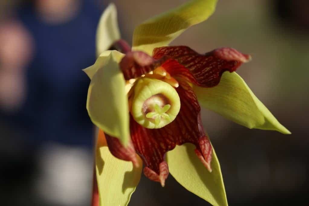 Cobra Lily Carnivorous Plant Rare Flower