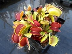 Get a plant that shares your carnivorous appetite.