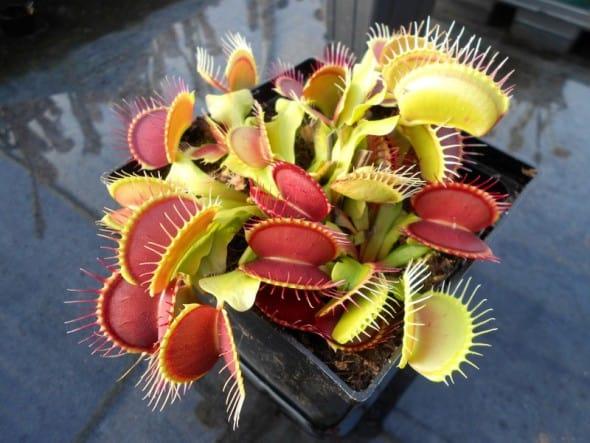 Venus-Flytrap-Carnivorous-Plant-Cool-Gift-Idea-for-Kids