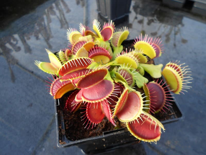 Venus-Flytrap-Carnivorous-Plant-Exotic-Stuff-to-Buy