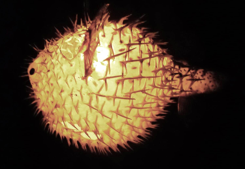 Evas Feathers Hanging Puffer Fish Night Light Blowfish Taxidermy