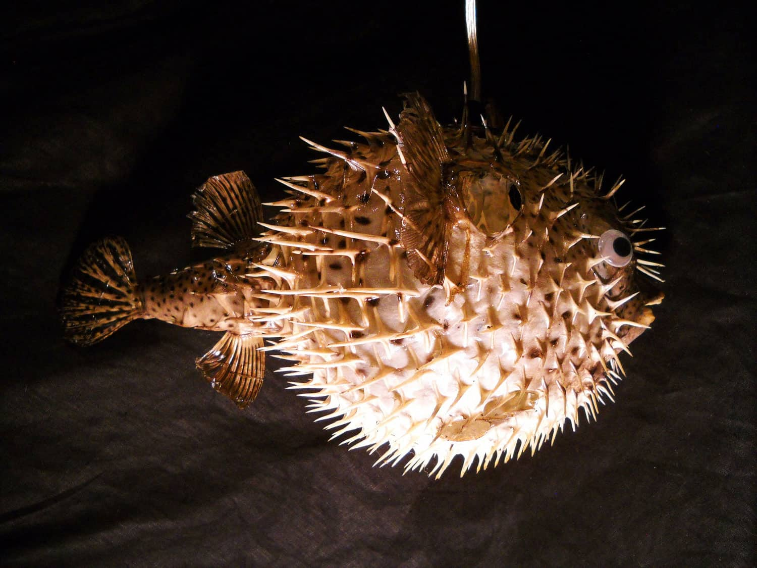 Evas Feathers Hanging Puffer Fish Night Light Cool Novelty Item to Buy
