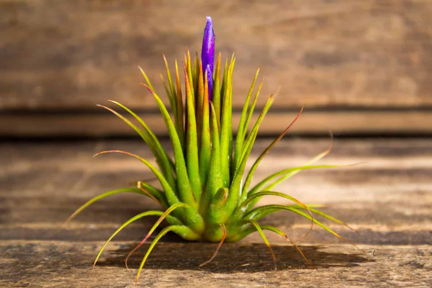 Hinterland Trading Air Plant Tillandsia Bromeliads Teardrop Terrarium Kit Indoor