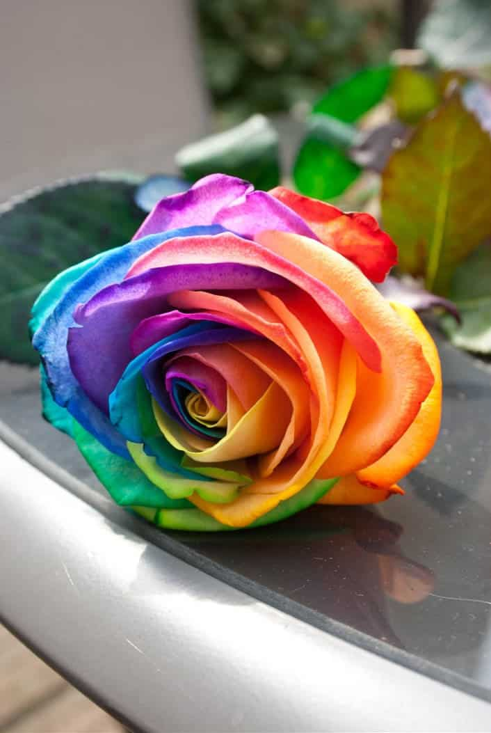 Rainbow Rose Seeds Cool Plants to Buy Cool Cute stuff to Buy