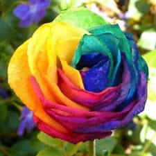 Rainbow Rose Seeds Unique Things to Buy Online