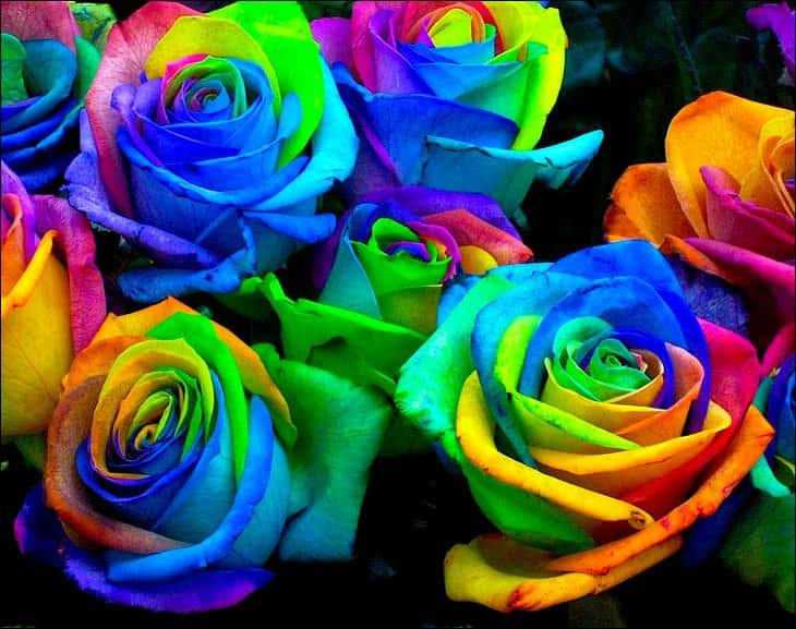 Rainbow Rose Seeds Weird Stuff to Buy Online