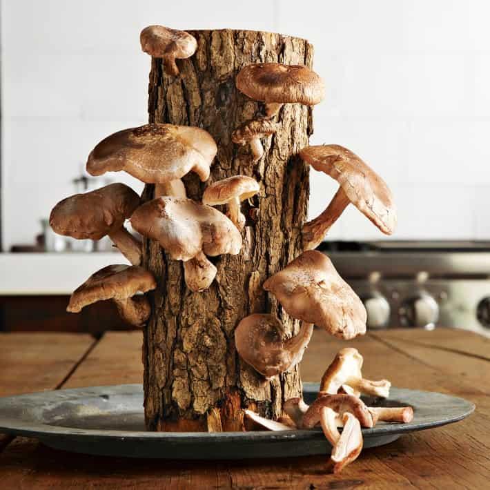 2 Fun Guys Shiitake Mushroom Log Cool DIY Project