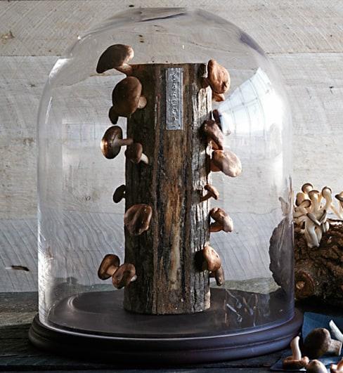 2 Fun Guys Shiitake Mushroom Log Indoor Farming
