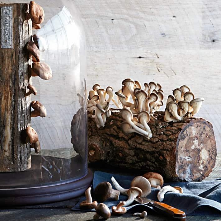 2 Fun Guys Shiitake Mushroom Log Organic Farming Indoors