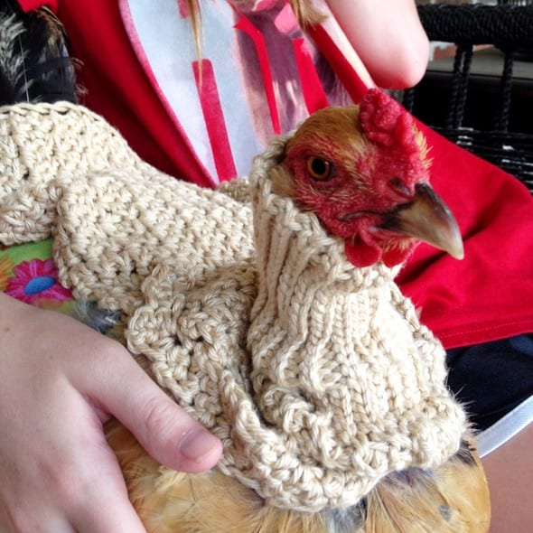 Does your chicken need a sweater?