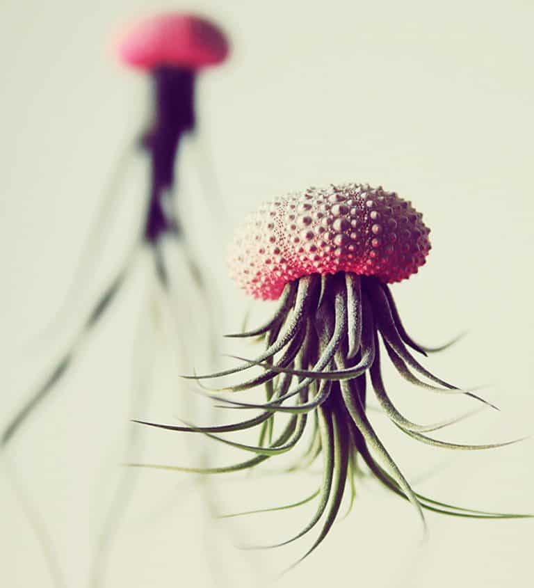 Petit Beast Jellyfish Air Plant Good for Wedding Decoration