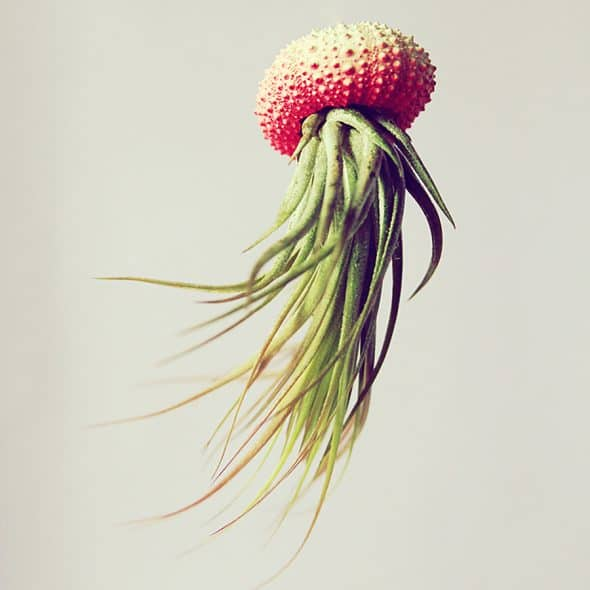 Petit Beast Jellyfish Air Plant Made to Order
