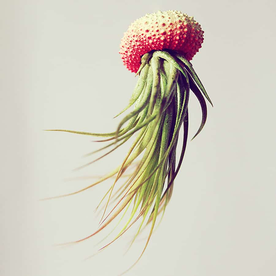 They say if you stick an air plant into a dead sea urchin's shell a flying jellyfish is born.