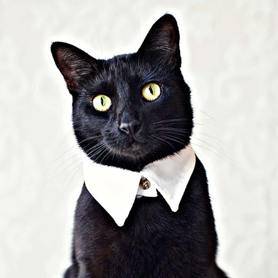 Turn your cat into the most handsome of felines.