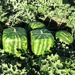 Growing cube watermelons is no longer exclusive to Japan!