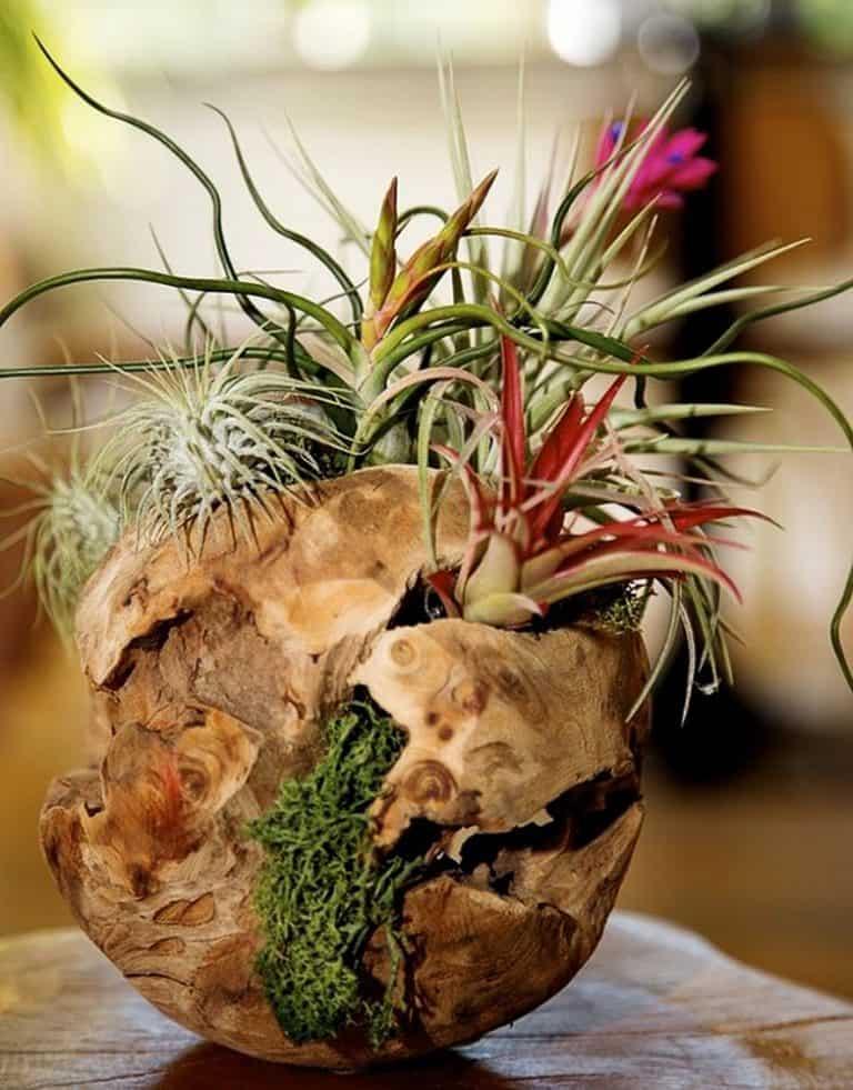 plntstr-living-air-plant-wood-spheres-rustic-driftwood