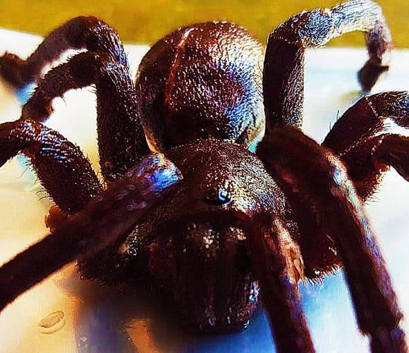 crunchy-critters-edible-zebra-tarantula-no-msg
