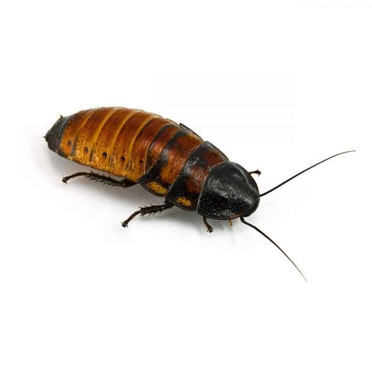 Adult Madagascar Hissing Cockroach