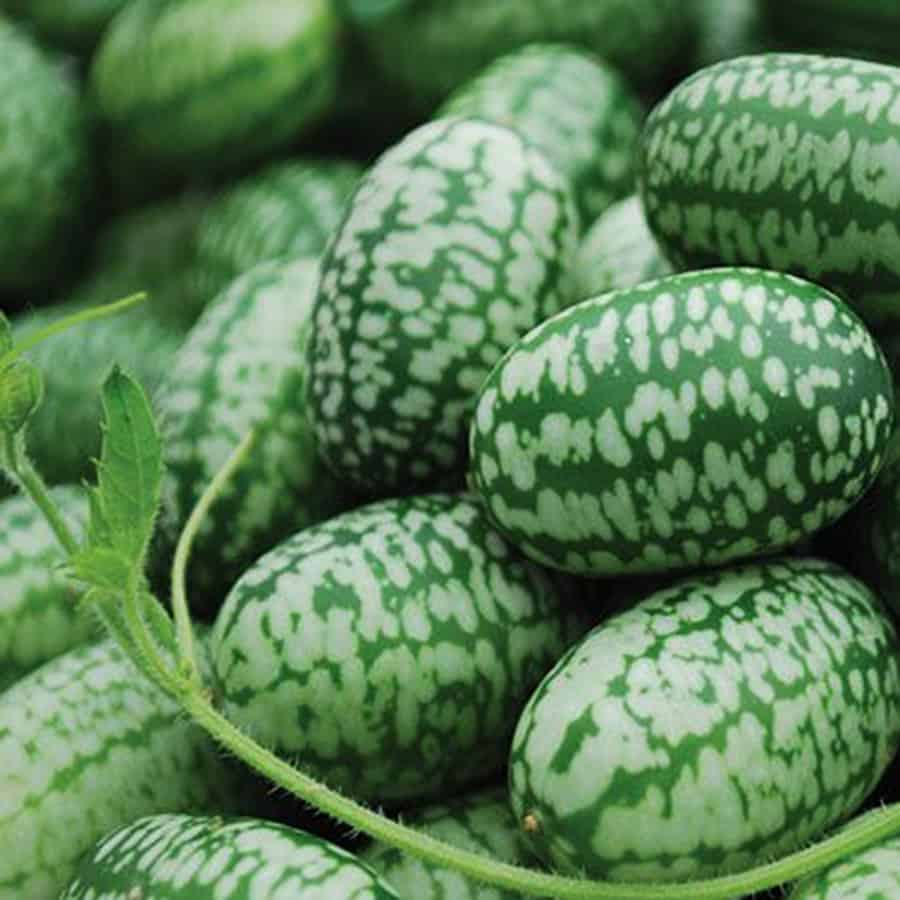 Miniature Watermelon Seeds - NoveltyStreet