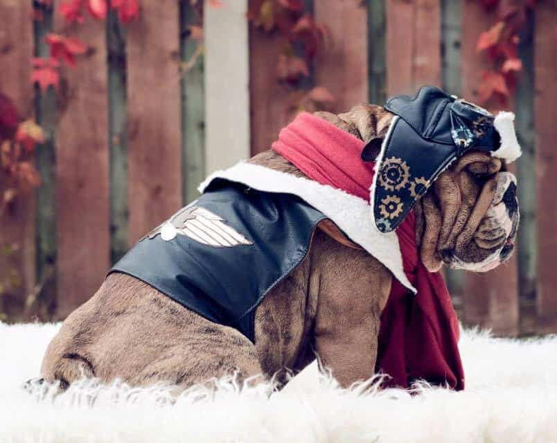 Bulldog wearing a Steampunk aviator costume with red scarf