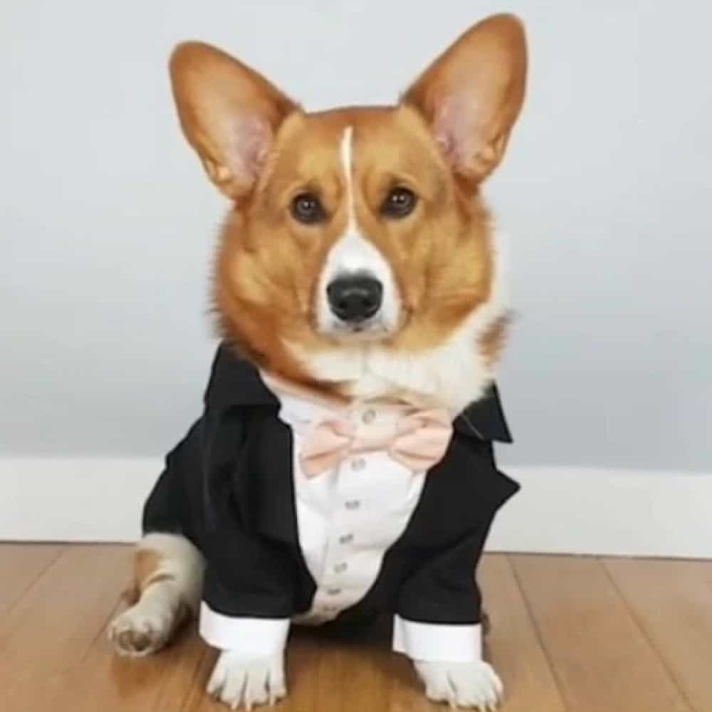 Black dog tuxedo with blush bow