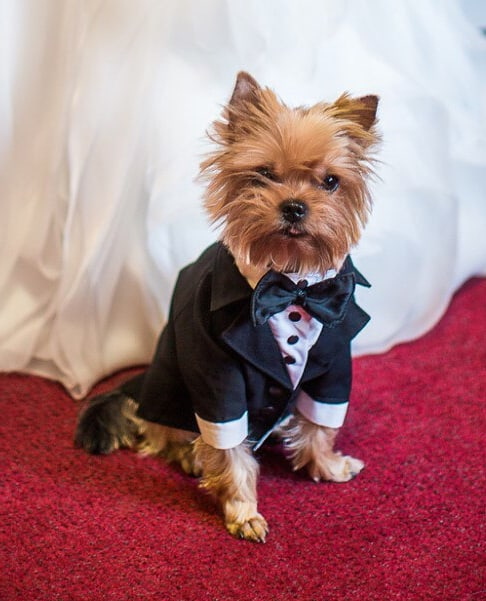 Small dog wearing a black suit on a red carpet