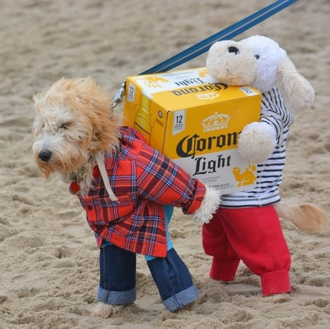Dog wearing a costume that looks like two dogs carrying a box of Corona beer