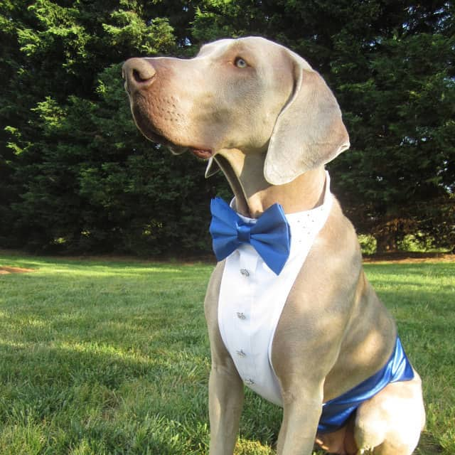 Large Dog Formal Attire