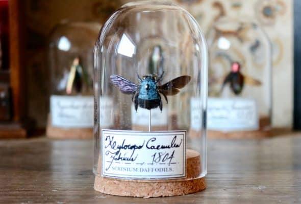 ScriniumDaffodils Blue Bee Xylocopa Careulea Specimen