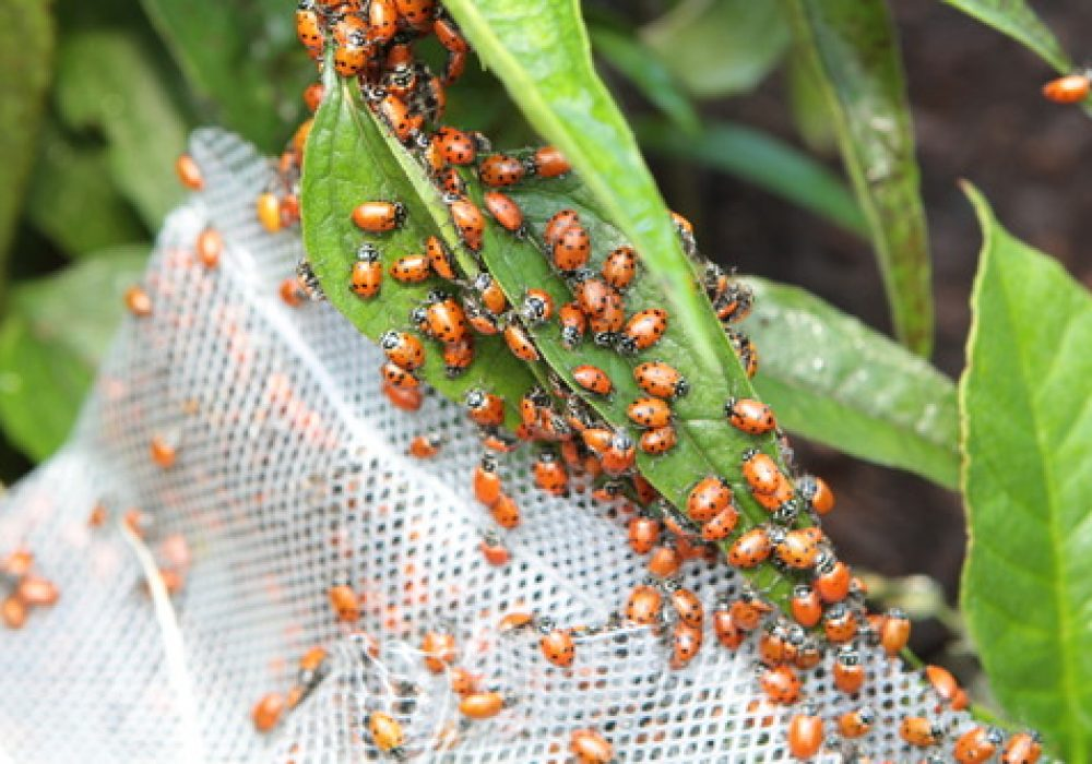 A Thousand Live Lady Bug Anti Garden Pest