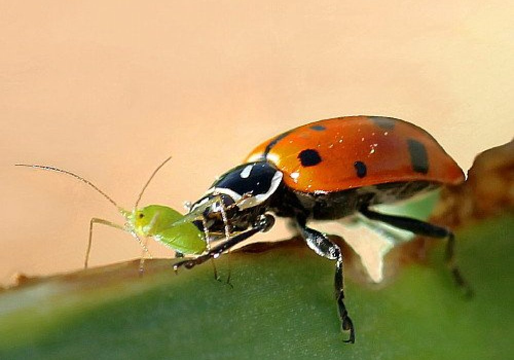 A Thousand Live Lady Bugs Eating Aphid Garden Pest
