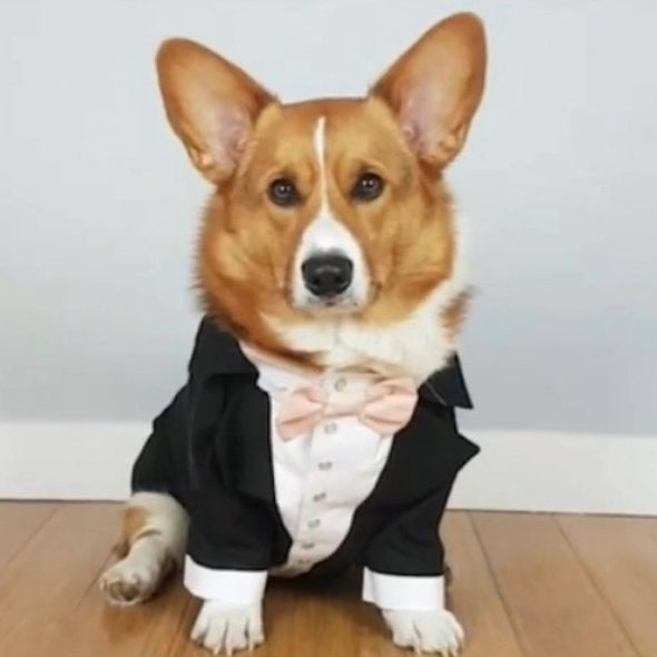 Black-dog-tuxedo-with-blush-bow.jpg