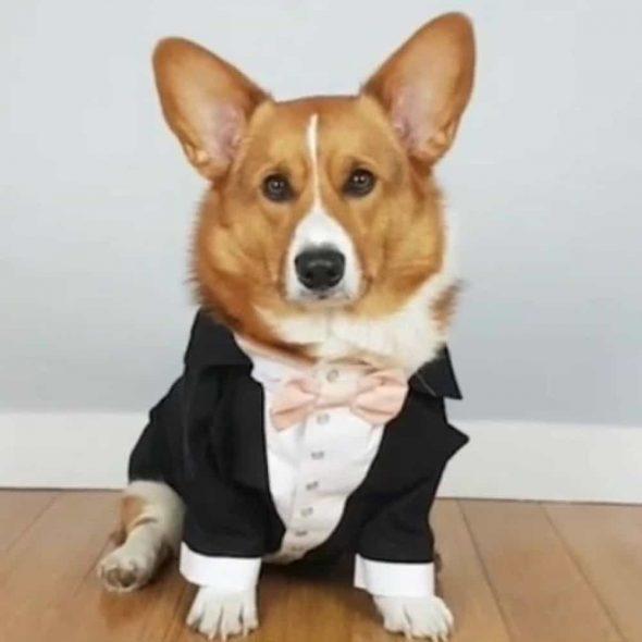 Black-dog-tuxedo-with-blush-bow.jpg